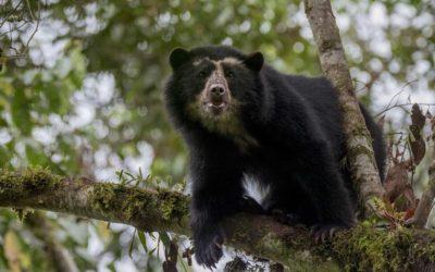 El oso jucumari el animal mas representativo de la reserva de tariqua
